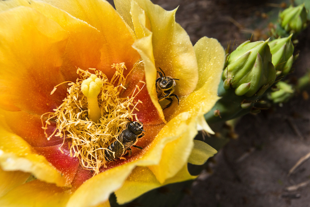 Honey bees foraging inside a yellow flower of the prickly pear cactus.