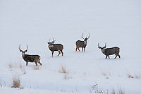 Four Mule Deer bucks crossing a snow covered field in a mountain valley in northern Utah December 2016