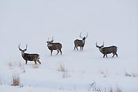 Four Mule Deer bucks crossing a snow covered field in a mountain valley in northern Utah December 2016