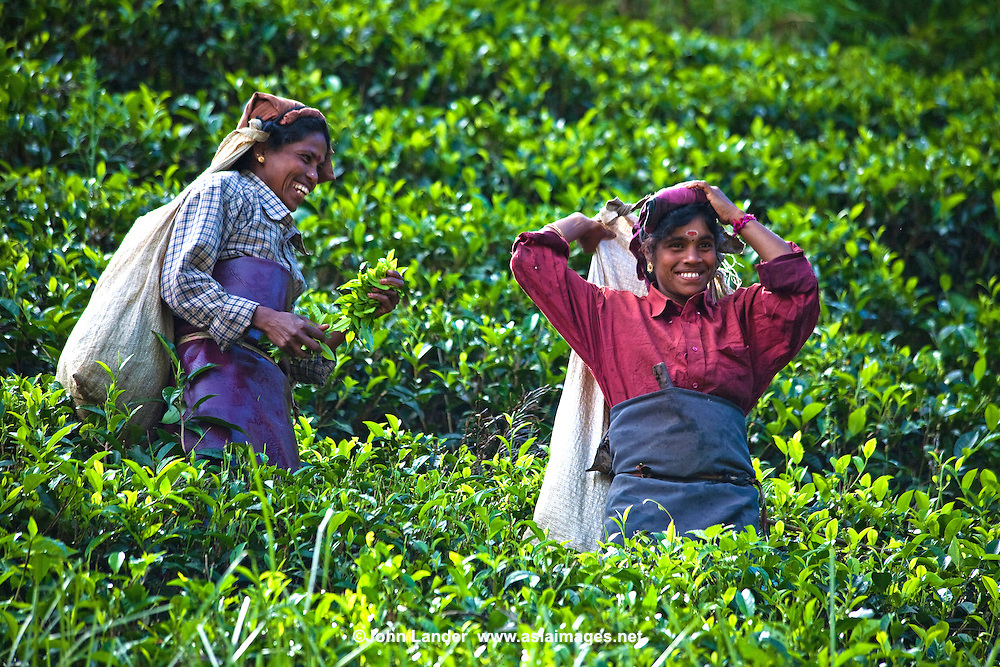 """Tea pickers in the Nuwara Eliya region of Sri Lanka, otherwise known as """"Hill Tea Country""""  Numerous tea estates, such as Pedro, St. Claire and Blue Fields produce much of the premium Ceylon tea for the world market."""