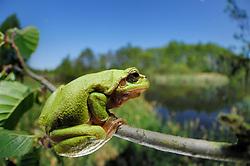 European tree frog (Hyla arborea formerly Rana arborea), Kelpshagen, Germany   Europäische Laubfrosch (Hyla arborea)