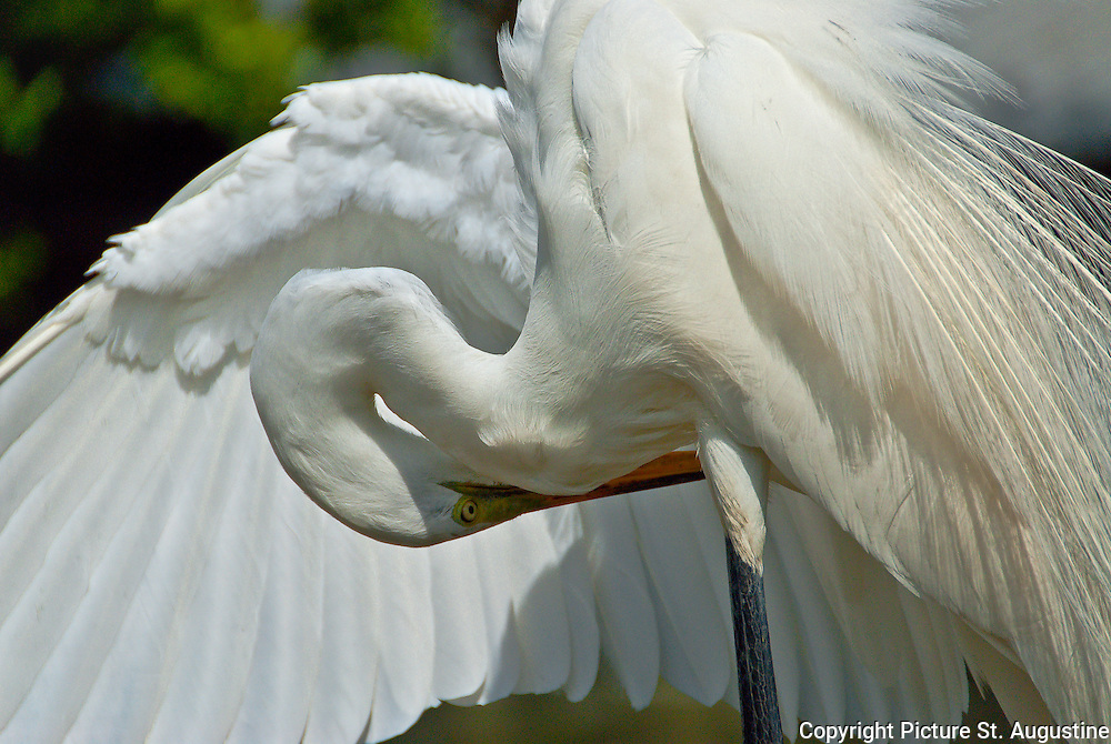 Great egret with breeding plumage preening in St. Augustine, Florida.