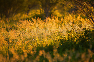 Grasses in the sunlight, Okavango Delta, Botswana