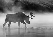 A bull moose taking a break in the cool of a fall morning at Swiftcurrent Lake in the Many Glacier region of Glacier National Park, Montana, USA