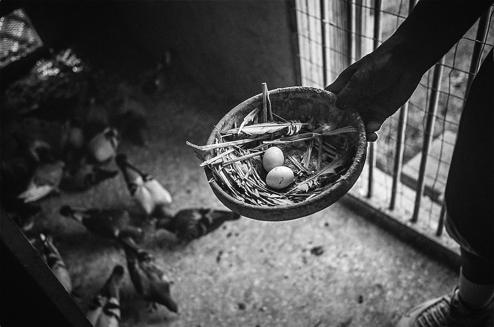 BALTIMORE -- Pigeon racing in Baltimore. Wayne Jackson, 53, displays some eggs that his pigeons have laid. Breeding is a important part of a fancier's program.… by André F. Chung