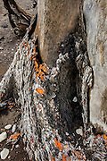 Some bark remains intact around the base of a dead tree that had been submerged for 100 years in Rattlesnake Lake near North Bend, Washington. The lake level dropped after a prolonged flood, exposing the stump and the preserved bark that's pulling away from it.