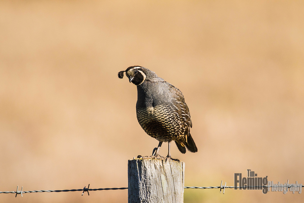 California quail perched on a fencepost near Abbot's lagoon, Pt Reyes National Seashore.