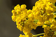 Rotsschildzaad, gele alyssum, Alyssum saxatile