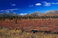 (m) Grizzly Bear, denali National Park, Alaska, USA