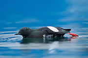 A blue ship in the background gives this deep blue colour of the sea. The Black Guillemot or Tystie, Cepphus grylle, is a medium-sized alcid at 32-38 cm in length, and with a 49-58 cm wingspan. These birds often overwinter in their breeding areas, moving to open waters if necessary, but usually not migrating very far south.