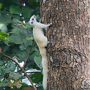 Finlayson's squirrel or the variable squirrel (Callosciurus finlaysonii, sometimes misspelled C. finlaysoni) is a species of rodent in the family Sciuridae. It is found in Cambodia, Laos, Myanmar, Thailand, and Vietnam. The species occurs in a wide range of wooded habitats.