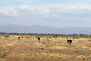 Dray savannah and bushland in Samburu National Reserve is the home to the Somali Ostrich, a northern species of large, flightless birds.