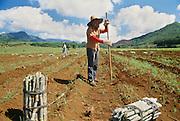 Sugar cane fiels, worker, Kauai, Hawaii.