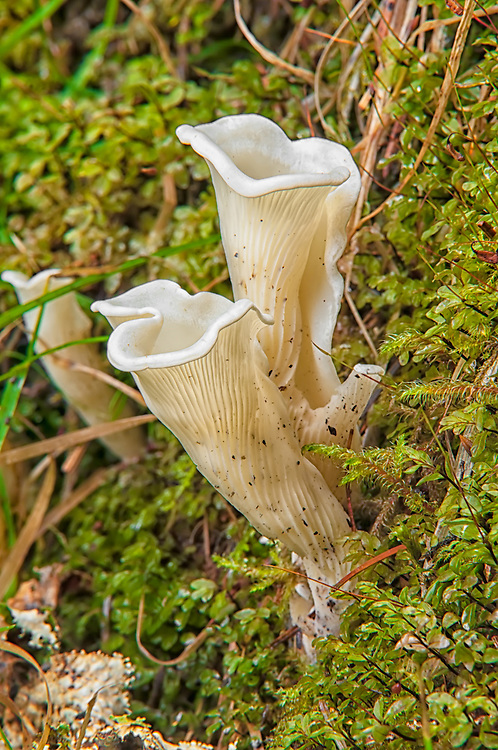 This beautiful and delicate member of the oyster mushroom family is found throughout much of North America, most often found growing on rotting logs and stumps of hemlock trees and other conifers, such as this one growing in the Olympic National Park in the Hoh Rain Forest. Although sometimes expressed as edible, caution is advised because of a string of recent deaths as a result of angel wings mushrooms.