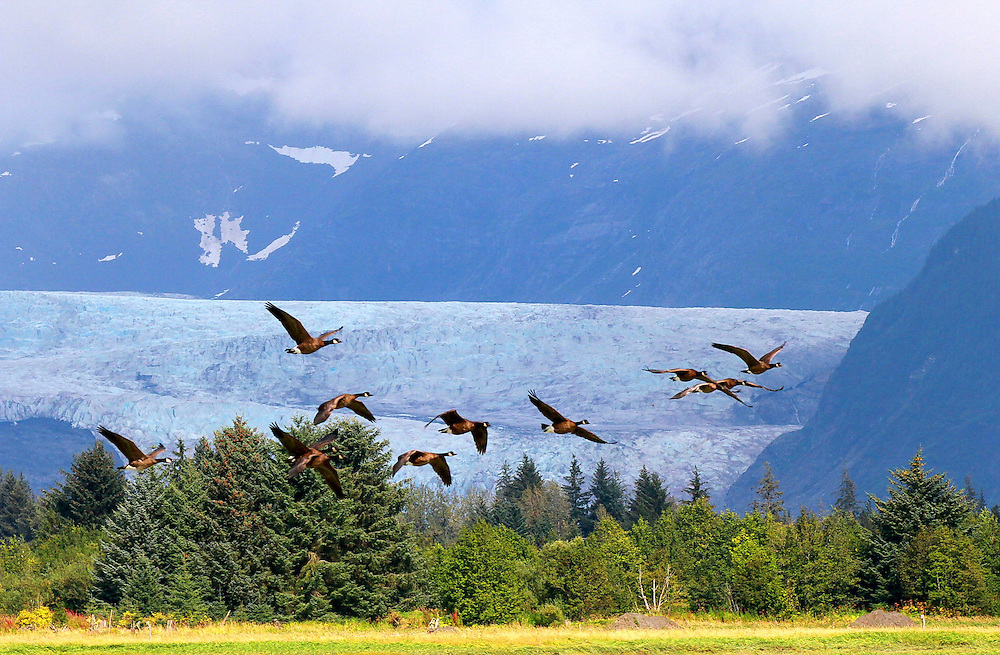 Canada Geese take flight with the Mendenhall Glacier behind