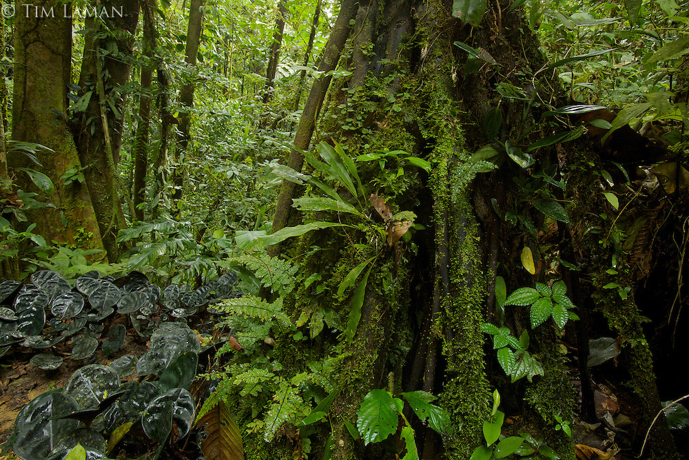 Amazon rain forest interior view.<br /><br />Tiputini Biodiversity Station, Amazon Rain Forest, Ecuador.