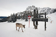 Reindeer near Rudi Hütte. Dolomiti di Sesto (Sexten Dolomites), Südtirol (South Tyrol), Italy (February 2016) © Rudolf Abraham