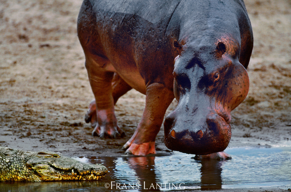 Hippo, Hippopotamus amphibius, watching crocodile, Crocodylus niloticus, Luangwa River, Zambia