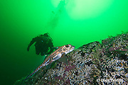 scuba diver approaches spotted ratfish, rat-fish, rabbitfish, spookfish, elephant fish, elephant-fish, goatfish, water hare, or chimaera, Hydrolagus collei, and diver, Barkley Sound, Vancouver Island, BC, Canada
