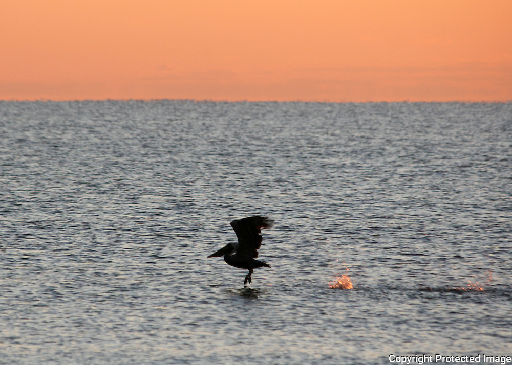 Pelican take off at sunrise, silhouette