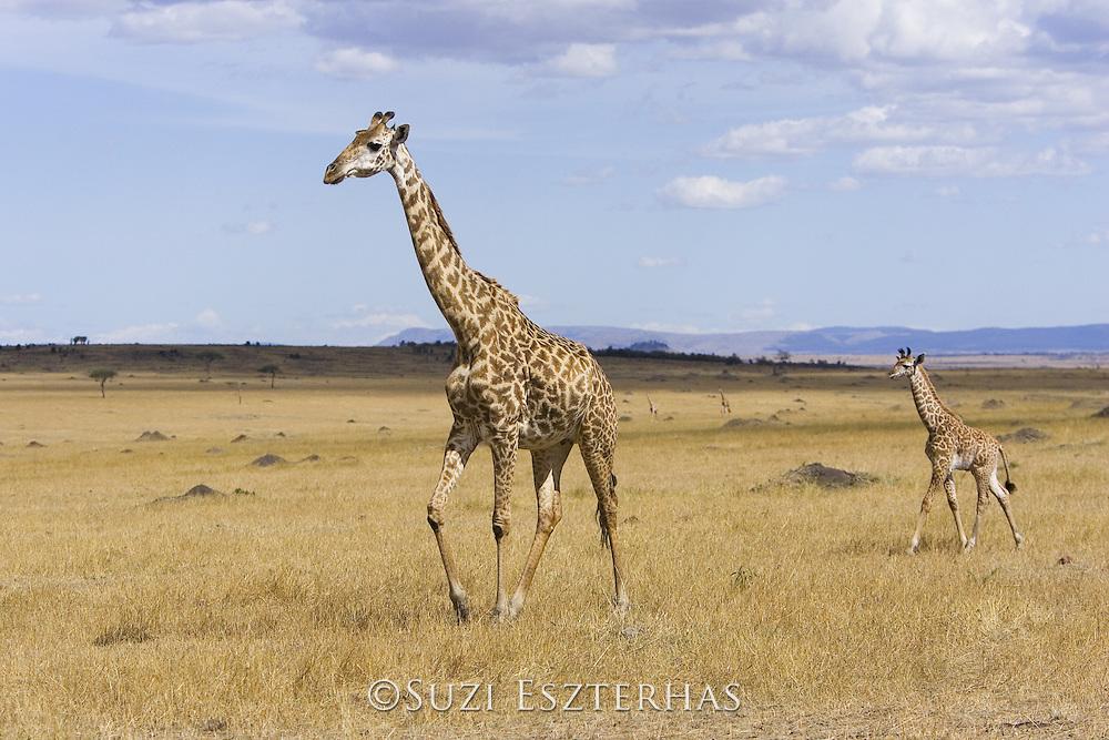 Giraffe<br /> Giraffa camelopardalis<br /> Mother and young calf (less than 3 weeks old)<br /> Masai Mara Reserve, Kenya