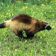 Wolverine, (Gulo gulo) Running across meadow. Summer.  Captive Animal.
