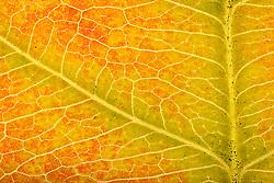 THEMENBILD - Blattfarben des Herbstes, Macroaufnahme, im Bild Assimilation im Herbst, Blattgrün (Chlorophyll) wird nicht mehr verdeckt durch gelbe Carotine, Carotinoide, Xanthophylle, sowie roten Anthocyane, Blattstruktur einer Sommerlinde (Tilia platyphyllos) im Durchlicht, Detail, estreme Nahaufnahme, Sprossachse. Bild aufgenommen am 08.10.2013. EXPA Pictures © 2013, PhotoCredit: EXPA/ Eibner-Pressefoto/ Weber<br /> <br /> *****ATTENTION - OUT of GER*****