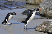 Rockhopper penguin coming out from the ocean and hopping onto land.