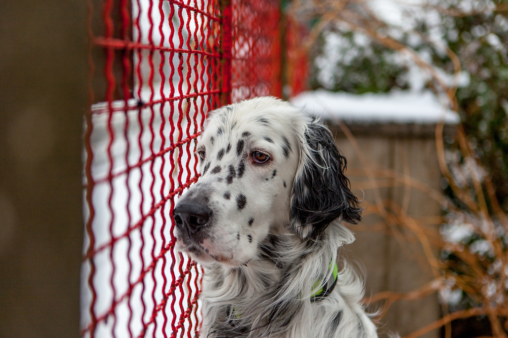 "English Setter ""Rudy"" am 03.02. 2019 in Lysa nad Labem, (Tschechische Republik).  Rudy wurde Anfang Januar 2017 geboren."