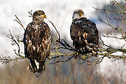 Wintering bald eagles on the Nooksack River, Deming, Washington