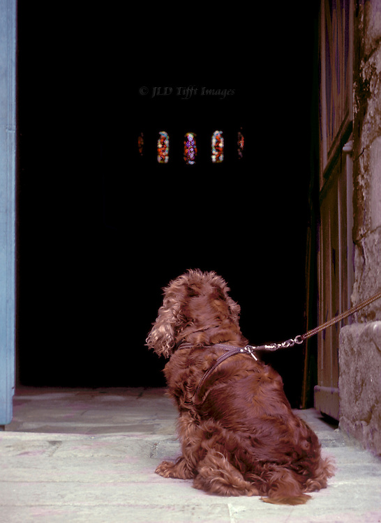 Seated cocker spaniel, seen from behind, leashed and tied at the door of a church in France where it is waiting for its master (or mistress).
