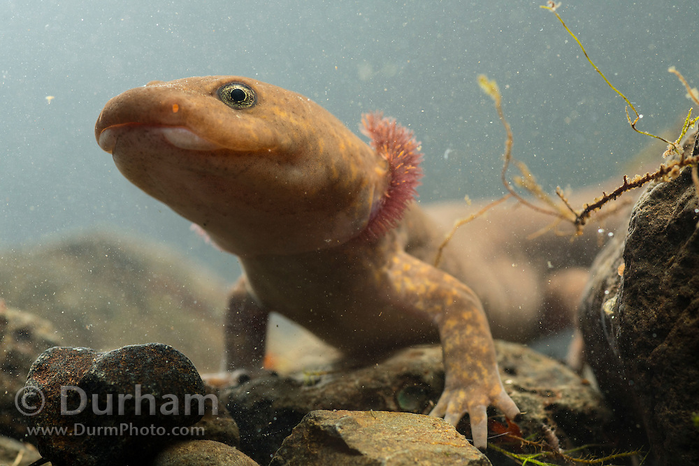 Neotenic or paedomorphic adult pacific giant salamander (Dicamptodon tenebrosus) with external gills. Columbia River Gorge, Oregon.