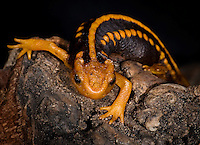 Emperor newts live in the highly mountainous province of Yunnan, China, between 1,000 and 2,500 feet above sea level
