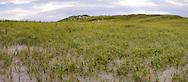 A field of American Beachgrass (Ammophila breviligulata) seen on the backbones of Island Beach State Park, New Jersey.