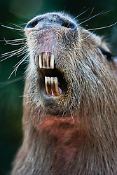 The world's largest rodent, a female capybara (Hydrochoerus hydrochaeris) shows her incisors as she opens her mouth to yawn, Pantanal, Brasil, South America