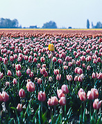 Tulips and crop duster in the Skagit Valley, rural Washington State.