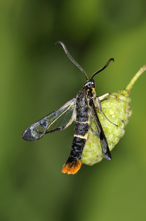 Welsh Clearwing - Synanthedon scoliaeformis