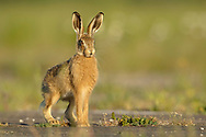 European Hare (Lepus europaeus) juvenile alert on farm track, South Norfolk, UK. May.