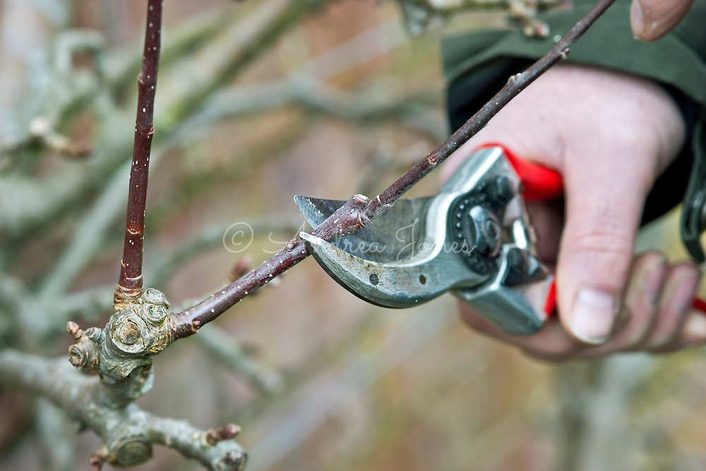 Winter pruning apple cordons leaf buds to one bud using secateurs (Oct-March)