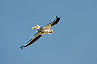 American White Pelican (Pelecanus erythrorhynchos) flying above of Lake Chapala, Jocotopec, Jalisco, Mexico