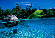 Sprouting Coconut floating in clear water. Vava'u. Tonga. Please see Getty Images for this image, https://www.gettyimages.co.nz/license/200414440-001