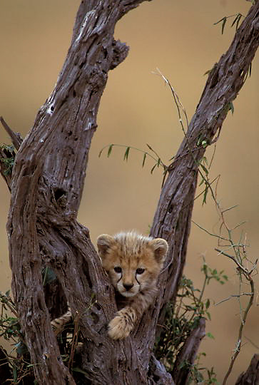 Cheetah, (Acinonyx jubatus) Cub playing on dead tree. Masai Mara Game Reserve. Kenya. Africa.
