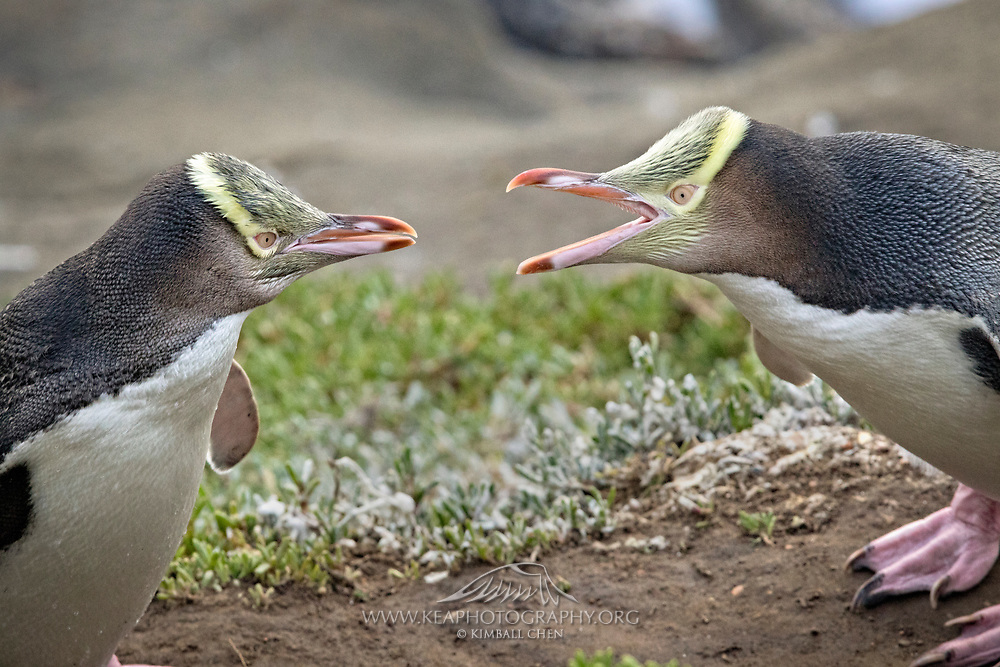 An adult yellow-eyed penguin disciplines a clingy adolescent penguin, South Island, New Zealand