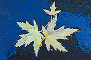 Maple leaves in autumn, Winnipeg, Manitoba, Canada