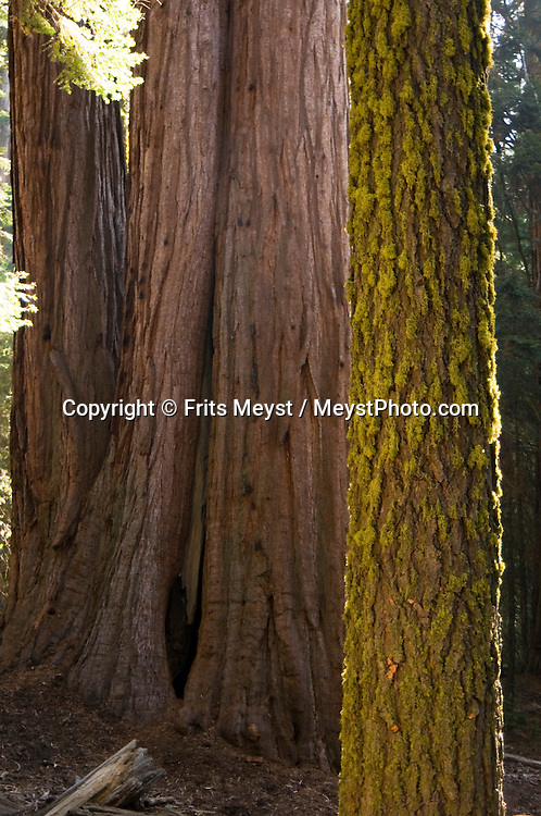 California, USA, October 2009. Sequoia National Park. Giant Sequoia Trees can live from 1,000 to 3,000 years and are among the oldest living things on earth.  You can find here 38 groves as well as the biggest tree in the worldA roadtrip through the Western United States leads us through many impressive national parks. Photo by Frits Meyst/Adventure4ever.com