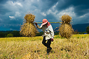Hand Harvesting Rice in Rural Nakhon Nayok, Thailand PHOTO BY LEE CRAKER