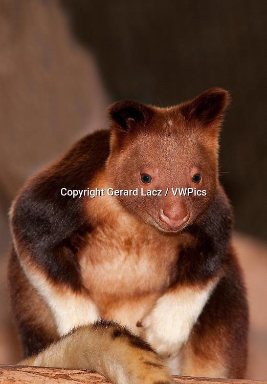 Goodfellow's Tree Kangaroo, dendrolagus goodfellowi buergersi, Adult sitting