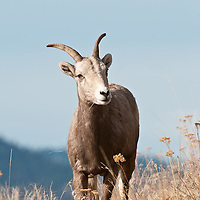 ewe standing in grass on side of mountain wild rocky mountain big horn sheep