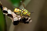 Beautiful wasp (Ropalidia sp.) from Palmarium, Madagascar.