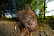 Junges Eichhörnchen. Das Europäische Eichhörnchen (Sciurus vulgaris), auch Eichkätzchen, Eichkater oder niederdeutsch Katteker, ist ein Säugetier aus der Ordnung der Nagetiere (Rodentia). Es gehört zur Familie der Hörnchen (Sciuridae). Das Fell des Europäischen Eichhörnchens variiert von hellrot bis zu braunschwarz. | Subadult Eurasian red squirrel (Sciurus vulgaris)